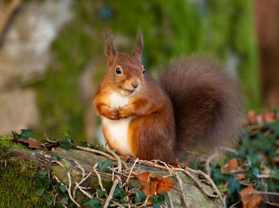 Evropska Veverica